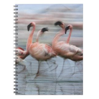 Lesser Flamingos in motion, Phoenicopterus Notebooks