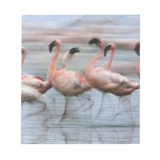 Lesser Flamingos in motion, Phoenicopterus Notepad