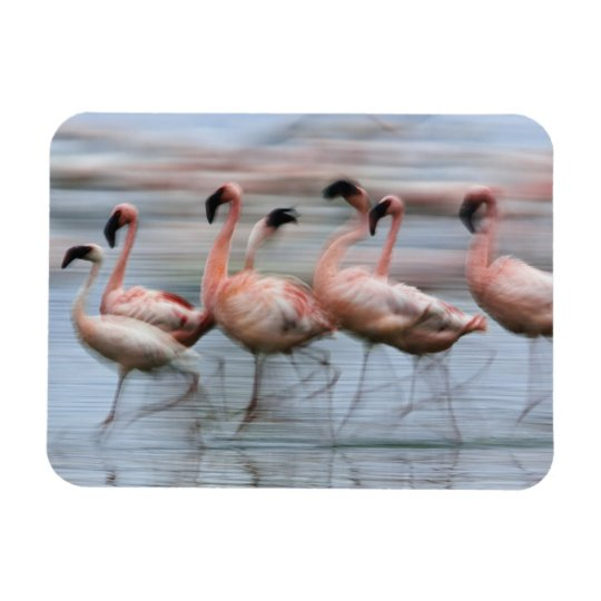 Lesser Flamingos in motion, Phoenicopterus Rectangular Photo Magnet