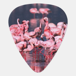 Lesser Flamingos (Phoeniconaias minor), Africa, Guitar Pick