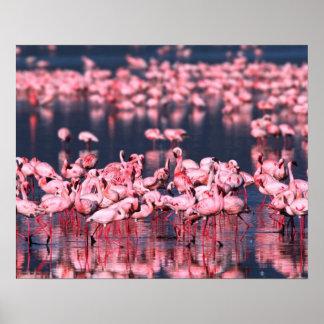 Lesser Flamingos (Phoeniconaias minor), Africa, Poster