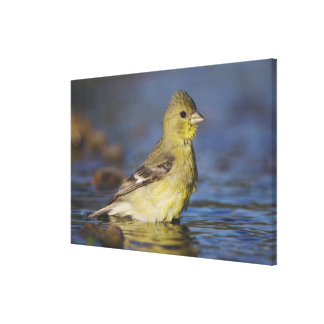 Lesser Goldfinch, Carduelis psaltria, female Canvas Print