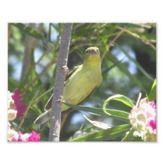 Lesser Goldfinch Photo
