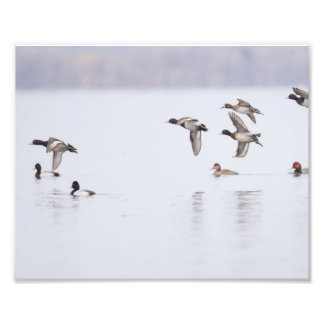 Lesser Scaups Ducks on the Bay Photo Print