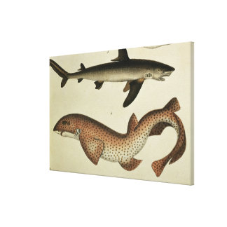 Lesser Spotted Dogfish Canvas Print