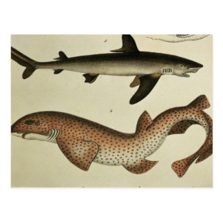 Lesser Spotted Dogfish Postcard
