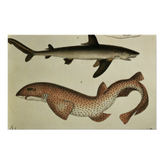 Lesser Spotted Dogfish Poster