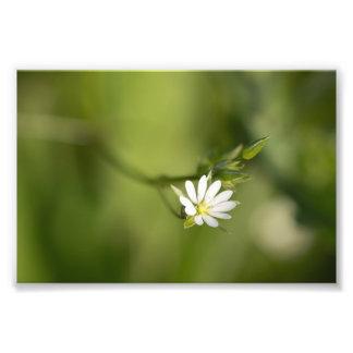 Lesser Stitchwort Photo Print
