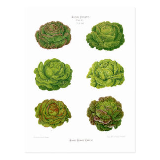 Lettuces Postcard