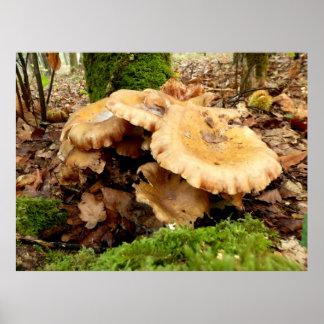 Leucopaxillus giganteus Mushroom Poster