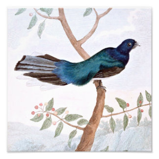 Leverian Trogon Bird Photo Print