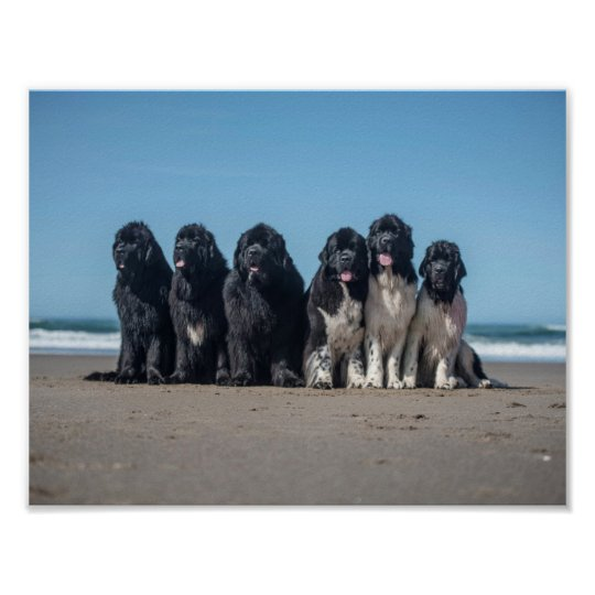 Life is better at the beach newfoundland dogs poster