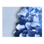 LIght and dark blue hydrangeas Post Cards