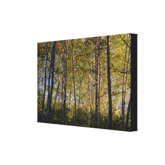 Light and Shadow Birch Tree Forest Blue Sky Stretched Canvas Print