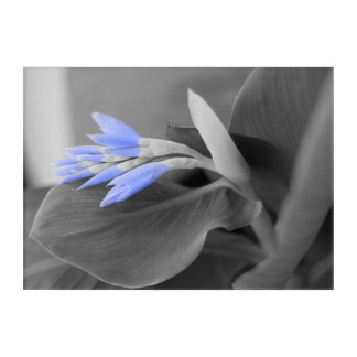 Light Blue Buds selective color Acrylic Print