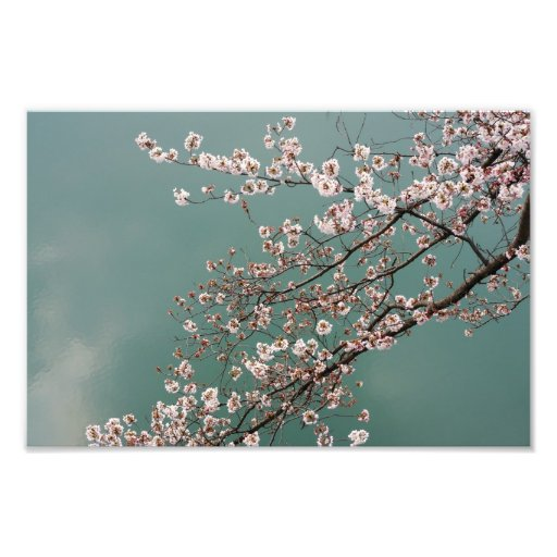 Light pink cherry blossoms on turquois background photograph