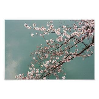 Light pink cherry blossoms on turquois background photo print
