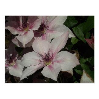 Light Pink Clematis Blossom Postcard