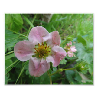 Light Pink Strawberry Blossom Floral  Photo