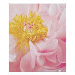 Light Pink Yellow Peony Flower - Peonies Flowers Poster
