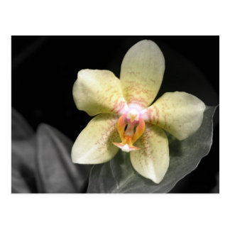 Light Yellow Orchid Postcard