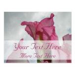 Like Crystal Pink Gladiolus Postcard