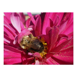 Lil bee on Cosmos flower Poster