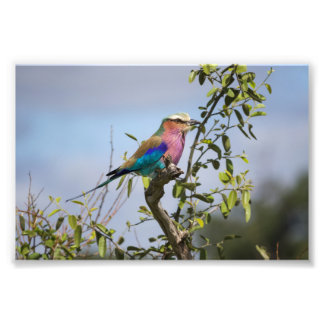 Lilac-Breasted Roller, Africa, Photo Print
