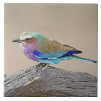 Lilac-breasted roller (Coracias caudata) Large Square Tile