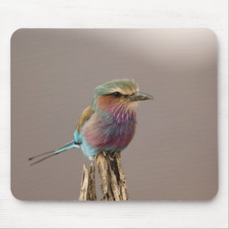 Lilac breasted Roller, Coracias caudata, Samburu Mouse Pad