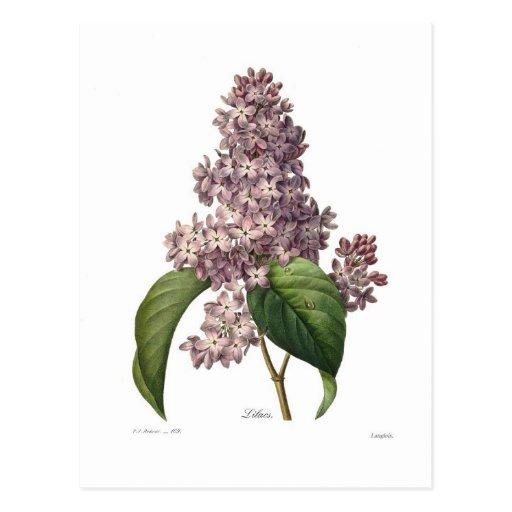 Lilac Postcards