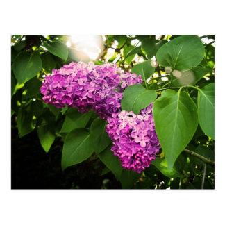 Lilacs In The Sun Postcard