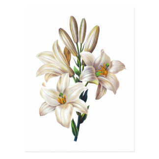 Lilium Candidum or Madonna Lily By Redoute Postcard