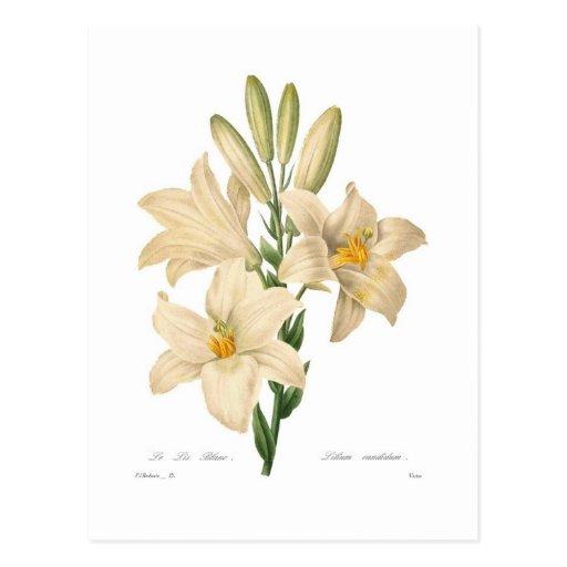 Lilium candidum postcard