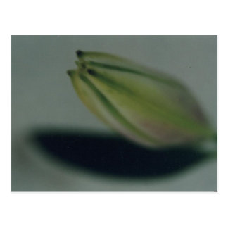 Lily 2 postcard