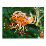 LILY FLOWERS POST CARDS Lilies POST CARD