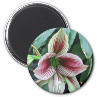 Lily Magnet