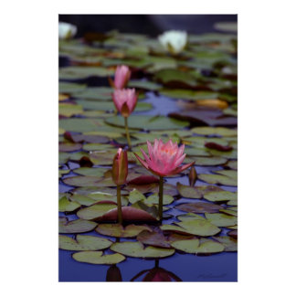 Lily Pad Photo Posters