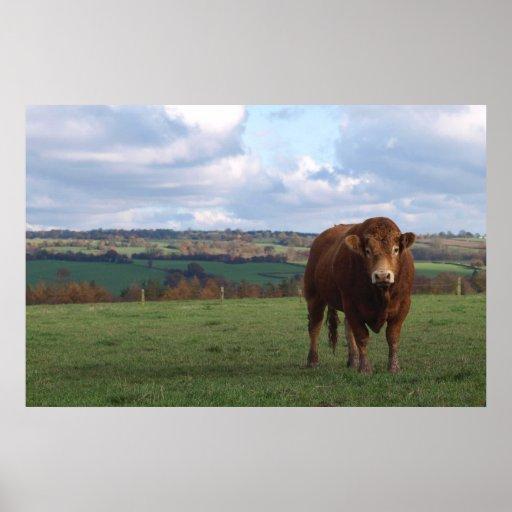 Limousin Bull Print