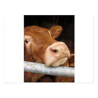 Limousin Cattle (Mad Cow) Postcard
