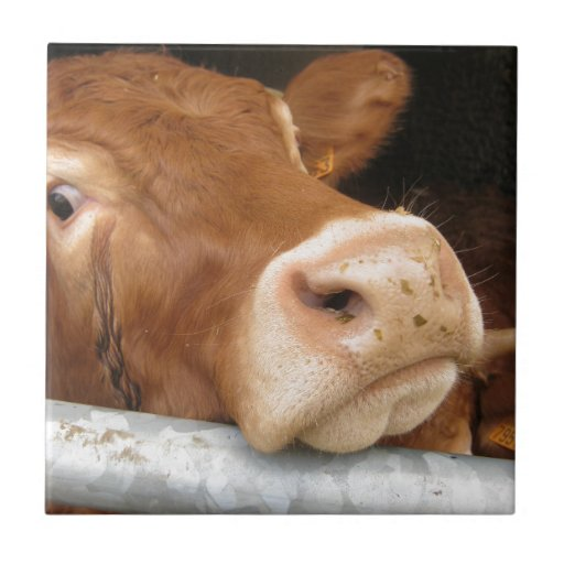 Limousin Cattle (Mad Cow) Tiles