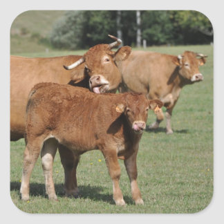 Limousin cow and calf square sticker