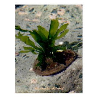 Limpet with Kelp, Unalaska Island Postcard