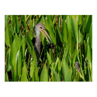Limpkin in the Reeds Postcard