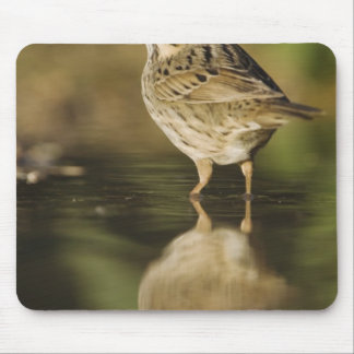 Lincoln's Sparrow, Melospiza lincolnii, adult 2 Mouse Pad
