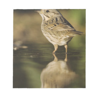 Lincoln's Sparrow, Melospiza lincolnii, adult 2 Notepad