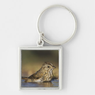 Lincoln's Sparrow, Melospiza lincolnii, adult Key Ring