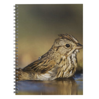 Lincoln's Sparrow, Melospiza lincolnii, adult Notebook
