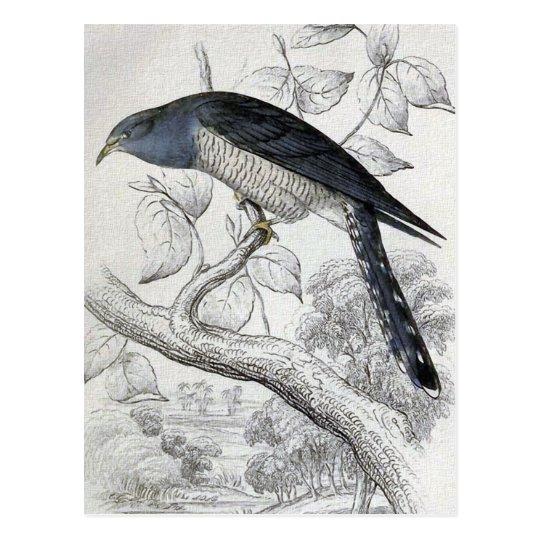 Lineated Cuckoo Vintage Bird Illustration Postcard