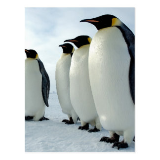Lined up Emperor Penguins Postcard